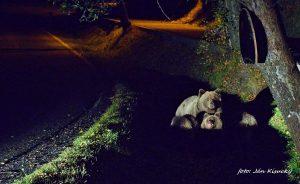 Medvedia rodinka v Starom Smokovci, foto Ján Kisucký